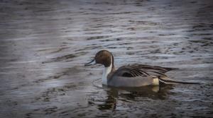 welihan 20140209 Ducks & S Baker-6517