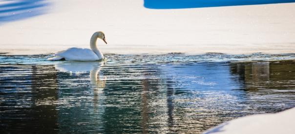 welihan 20140209 Ducks & Swans-00382